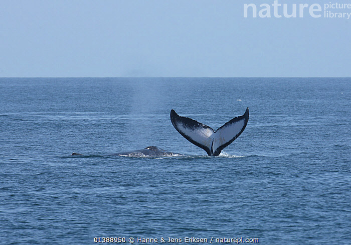 Two Humpback whales (Megaptera novaeangliae) fluking and spouting, part of a population that may be non-migratory, Indian Ocean, Oman, March., ARABIA,BALAENOPTERIDAE,CETACEANS,DIVING,FLUKES,INDIAN OCEAN,MAMMALS,MARINE,MIDDLE EAST,OMAN,SURFACE,SWIMMING,TAILS,VERTEBRATES,WATER,WHALES, Hanne & Jens Eriksen