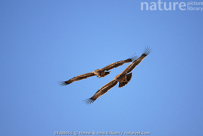 Steppe eagle (Aquila nipalensis) two in flight against blue sky, Oman, March., ARABIA,BEHAVIOUR,BIRDS,BIRDS OF PREY,BLUE,EAGLES,FLYING,LOW ANGLE SHOT,MIDDLE EAST,OMAN,PORTRAITS,PROFILE,SKY,TWO,VERTEBRATES,Raptor, Hanne & Jens Eriksen