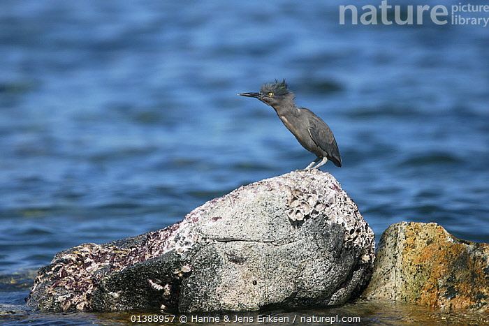 Striated green heron (Butorides striatus) perched on rock with head feathers blowing in the wind, Oman, March., ARABIA, BIRDS, FEATHERS, HEADS, HERONS, INDIAN-OCEAN, MIDDLE-EAST, Oman, PORTRAITS, PROFILE, ROCKS, VERTEBRATES, WATER, WEATHER, WIND,Marine, Hanne & Jens Eriksen