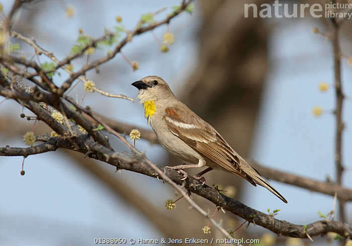 Yellow throated / Chestnut shouldered sparrow (Gymnoris xanthocollis) male perched on branch, UAE, April., ARABIA, BIRDS, BRANCHES, MALES, MIDDLE-EAST, Passeridae, PORTRAITS, PROFILE, songbirds, SPARROWS, TREES, UAE, VERTEBRATES, YELLOW,PLANTS, Hanne & Jens Eriksen