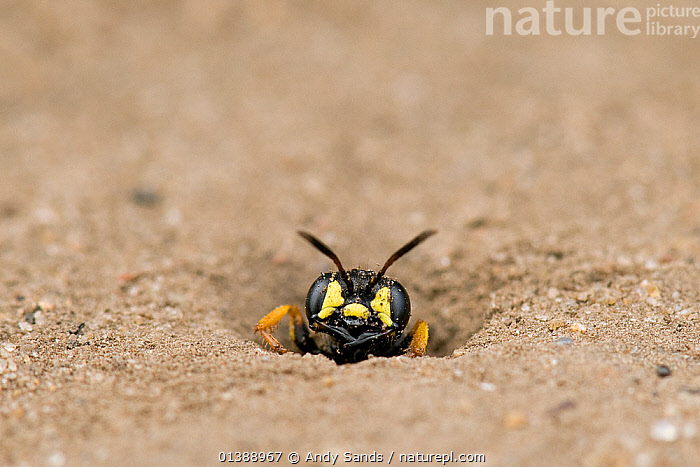 Digger Wasp (Cerceris arenaria) emerging from burrow where it stores insects, paralysed to feed the wasp's larvae. London, England, UK, July., ARTHROPODS,BEHAVIOUR,black colour,burrow,catalogue4,close up,DIGGER WASPS,emergence,ENGLAND,EUROPE,EXPRESSIONS,front view,hiding,holes,HYMENOPTERA,INSECTS,INVERTEBRATES,london,MACRO,menacing,Nobody,one animal,PORTRAITS,Threats,timid,UK,WASPS,WILDLIFE,YELLOW,United Kingdom, Andy Sands