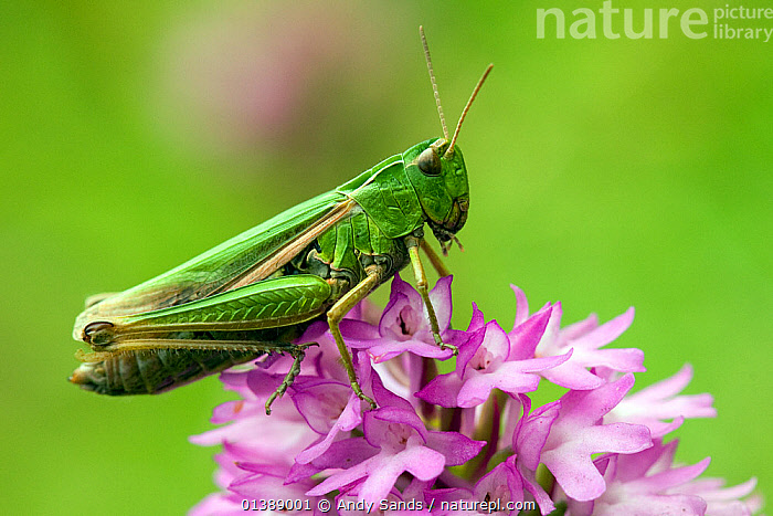Meadow / Short Horned Grasshopper (Chorthippus parallelus) on pyramidal orchid (Anacamptis pyramadials). Bedfordshire, England, UK, July.  ,  ENGLAND,EUROPE,FLOWERS,GRASSHOPPERS,INSECTS,INVERTEBRATES,MACRO,ORTHOPTERA,PROFILE,SHORT HORNED GRASSHOPPERS,UK,United Kingdom  ,  Andy Sands