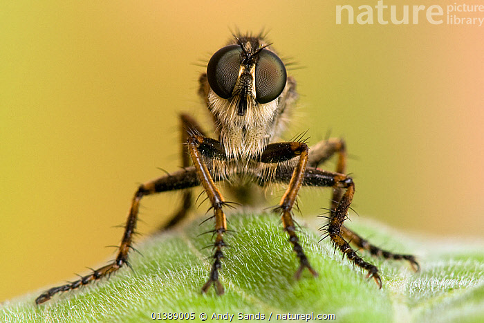 Robberfly (Machimus cingulatus) head close up showing large compound eyes. Captive, UK, July.  ,  animal eye,animal head,ARTHROPODS,catalogue4,close up,compound eyes,CUTE,DIPTERA,ENGLAND,EUROPE,expert,EYES,FLIES,front view,full length,HAIRY,INSECTS,INVERTEBRATES,looking at camera,MACRO,Nobody,one animal,PORTRAITS,quirky,ROBBER FLIES,STANDING,UK,WILDLIFE,United Kingdom  ,  Andy Sands