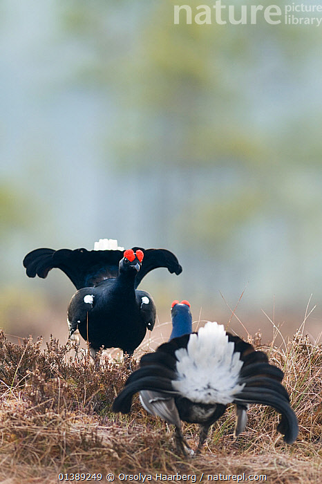 Two Black grouse (Tetrao tetrix) males displaying at lek, Bergslagen, Sweden, April  ,  BEHAVIOUR,BIRDS,BLACKCOCK,COURTSHIP,DISPLAY,EUROPE,FIGHTING,GALLIFORMES,GAME BIRDS,GROUSE,MALES,PHASIANIDAE,SCANDINAVIA,SWEDEN,TAILS,VERTEBRATES,VERTICAL,Communication,Aggression,Catalogue5  ,  Orsolya Haarberg