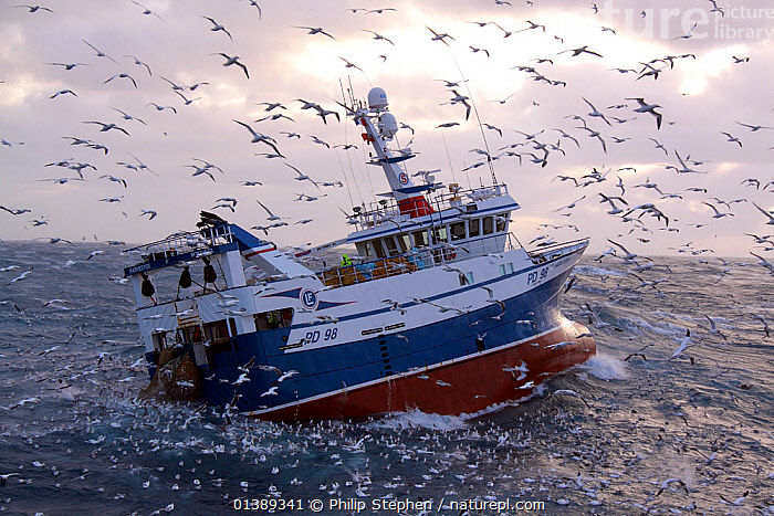 Fishing vessel 'Harvester' winching her catch onboard amid a group of hungry seabirds. North Sea, Europe, December 2011. Property released.  ,  BIRDS,BOATS,EUROPE,FISHING BOATS,NORTH SEA,SCAVENGING,SEABIRDS,TRAWLERS,WORKING BOATS,WORKING-BOATS ,Catalogue5  ,  Philip Stephen