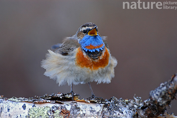 Male Bluethroat (Luscinia svecica) singing on a birch tree with feathers blowing in wind, Vauldalen, Sor-Trondelag, Norway, May, BEHAVIOUR, BIRDS, ERITHACUS, EUROPE, FEATHERS, MALES, MUSCICAPIDAE, NORWAY, SCANDINAVIA, songbirds, VERTEBRATES, VOCALISATION,Catalogue5, Erlend Haarberg