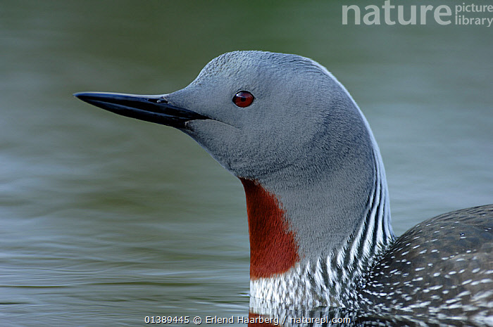Red-throated diver (Gavia stellata) portrait, Varanger, Finnmark, Norway, June  ,  ARCTIC,BIRDS,DIVERS,EUROPE,GAVIIDAE,LOON,LOONS,NORWAY,PORTRAITS,PROFILE,SCANDINAVIA,VERTEBRATES,WATER,WATERFOWL  ,  Erlend Haarberg