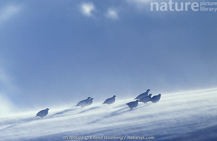 Eight Rock ptarmigans (Lagopus muta) with snow blowing in wind, Norway, February, BIRDS,BLUE,blue sky,catalogue5,copyspace,EUROPE,full length,GALLIFORMES,GAME BIRDS,GROUPS,GROUSE,hillside,LAGOPUS MUTA,medium group of animals,Nobody,NORWAY,outdoors,Phasianidae,resilience,safety in numbers,SCANDINAVIA,side view,SKIES,slope,SNOW,STANDING,steep,VERTEBRATES,WIND,windswept,Windy,Weather, Erlend Haarberg