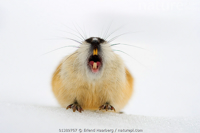 Norway lemming (Lemmus lemmus) calling on spring snow, Vauldalen, Norway, May  ,  BEHAVIOUR,CRICETIDAE,EUROPE,LEMMINGS,MAMMALS,MOUTHS,NORWAY,RODENTS,SCANDINAVIA,SNOW,TEETH,VERTEBRATES,VOCALISATION,Catalogue5  ,  Erlend Haarberg