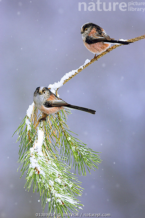 Long tailed tits (Aegithalos caudatus) pair perched on pine branch in snowfall, Cheshire, UK March  ,  AEGITHALIDAE,BIRDS,ENGLAND,EUROPE,FEMALES,LONG TAILED,MALE FEMALE PAIR,MALES,PORTRAITS,PROFILE,SNOW,SONGBIRDS,TITS,UK,VERTEBRATES,VERTICAL,WINTER,United Kingdom  ,  Ben Hall