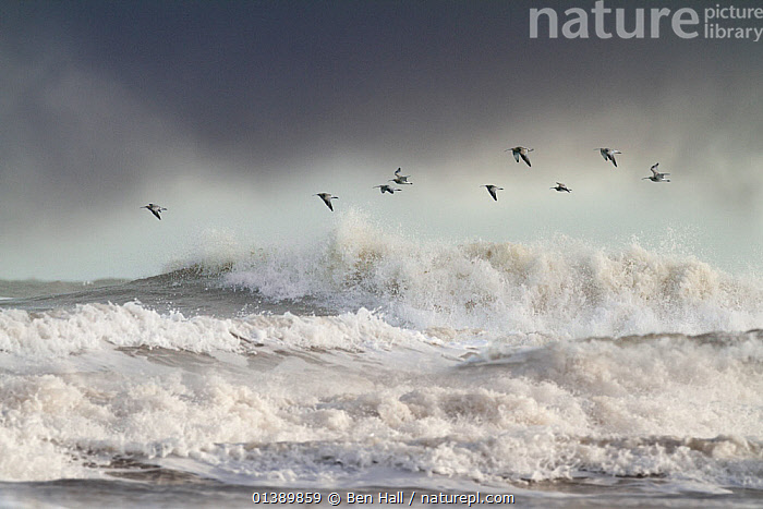Curlews (Numenius arquata) group flying over the sea during storm. Wales, UK December. Highly commended, 'Habitat' division, British Wildlife Photography Awards (BWPA) competition 2012.  ,  ATMOSPHERIC,BIRDS,CLOUDS,CURLEWS,ENGLAND,EUROPE,FLIGHT,FLOCKS,FLYING,GALES,MARINE,OCEAN,SCOLOPACIDAE,SEA,STORMY,TIDAL,UK,VERTEBRATES,WADERS,WATER,WAVES,WEATHER,WIND,WINTER,United Kingdom,Plovers,competitions,BWPA-book-2012,GROUPS,Catalogue5  ,  Ben Hall