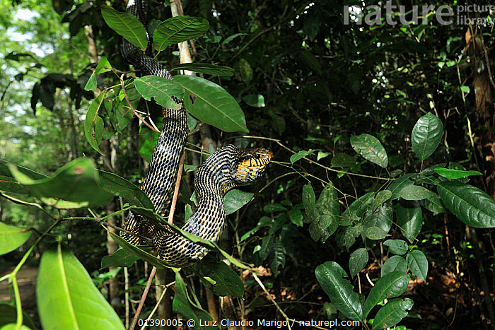 Caninana / Black and yellow rat snake (Spilotes pullatus) in tree, Tableland Atlantic Rainforest of Vale Natural Reserve, municipality of Linhares, Esparito Santo State, Eastern Brazil.  ,  BRAZIL,COLUBRIDS,FORESTS,REPTILES,RESERVE,SNAKES,SOUTH AMERICA,TREES,TROPICAL RAINFOREST,VERTEBRATES,PLANTS  ,  Luiz Claudio Marigo
