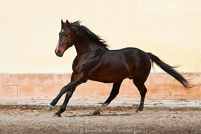 A rare East Bulgarian stallion cantering at the Kabiuk National Stud, Shumen, Bulgaria, February 2012  ,  BROWN,BUILDINGS,EQUIDAE,EUROPE,HORSES,MALES,MAMMALS,MOVEMENT,PERISSODACTYLA,RUNNING,VERTEBRATES,Equines,Catalogue5  ,  Kristel Richard