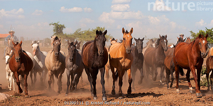 Cowboys rounding up a band of Criollo pure pedigree mares and foals, Estancia Ita Maria, Misiones, Paraguay, January 2012  ,  COWBOY,DUST,EQUIDAE,GROUPS,HORSES,MAMMALS,PERISSODACTYLA,RUNNING,SOUTH AMERICA,VERTEBRATES,Equines,Catalogue5  ,  Kristel Richard