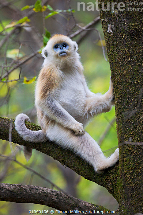 Quinling Golden snub nosed Monkey (Rhinopitecus roxellana qinligensis), infant sitting in a tree. Zhouzhi Nature Reserve, Qinling Mountains, Shaanxi, China.  ,  ASIA,AUTUMN,CERCOPITHECIDAE,CHINA,ENDANGERED,HIGHLANDS,IMMATURE,INFANT,JUVENILE,MAMMALS,MONKEYS,MOUNTAINS,PORTRAITS,PRIMATES,RESERVE,SITTING,SNUB NOSED MONKEYS,TREES,VERTEBRATES,VERTICAL,YOUNG,PLANTS,Catalogue5  ,  Florian Möllers