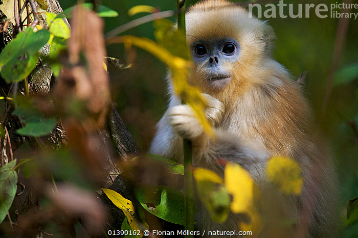Quinling Golden snub nosed monkey (Rhinopitecus roxellana qinlingensis), infant peering through leaves. Zhouzhi Nature Reserve, Qinling Mountains, Shaanxi, China.  ,  ASIA,AUTUMN,BABIES,CERCOPITHECIDAE,CHINA,ENDANGERED,FOLIAGE,HIGHLANDS,IMMATURE,JUVENILE,LEAVES,MAMMALS,MONKEYS,MOUNTAINS,PORTRAITS,PRIMATES,RESERVE,SNUB NOSED,SNUB NOSED MONKEYS,VERTEBRATES,YOUNG,Catalogue5  ,  Florian Möllers