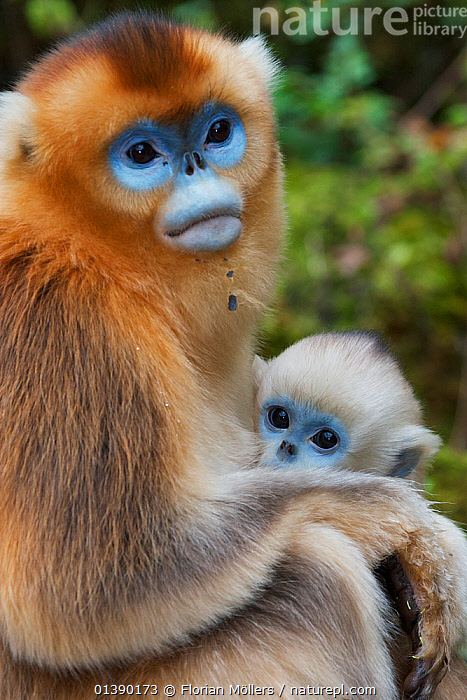 Quinling Golden snub nosed Monkey (Rhinopitecus roxellana qinlingensis), mother and infant. Zhouzhi Nature Reserve, Qinling Mountains, Shaanxi, China.  ,  ASIA,AUTUMN,BABIES,CERCOPITHECIDAE,CHINA,ENDANGERED,FEMALES,HIGHLANDS,INFANT,JUVENILE,MAMMALS,MONKEYS,MOTHER AND YOUNG,MOUNTAINS,PORTRAITS,PRIMATES,RESERVE,SITTING,SNUB NOSED,SNUB NOSED MONKEYS,VERTEBRATES,VERTICAL,YOUNG  ,  Florian Möllers