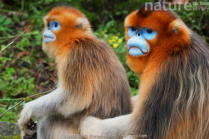 Quinling Golden snub nosed monkey (Rhinopitecus roxellana qinlingensis), adult male (right) and female sitting on the ground close to each other. Zhouzhi Nature Reserve, Qinling Mountains, Shaanxi, China.  ,  ASIA,AUTUMN,CERCOPITHECIDAE,CHINA,COURTSHIP,ENDANGERED,FEMALES,HIGHLANDS,MALE FEMALE PAIR,MALES,MAMMALS,MATING BEHAVIOUR,MONKEYS,MOUNTAINS,PRIMATES,PROFILE,RESERVE,SITTING,SNUB NOSED MONKEYS,TWO,VERTEBRATES  ,  Florian Möllers