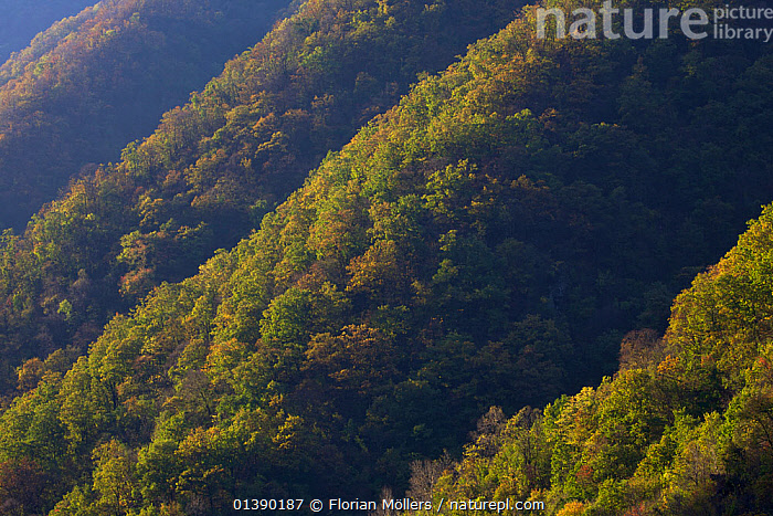 Sunrise on steep forested slopes of Zhouzhi Nature Reserve, Qinling Mountains, Shaanxi, China October 2006  ,  ASIA,AUTUMN,CHINA,ENDANGERED,FORESTS,HABITAT,HIGHLANDS,LANDSCAPES,MOUNTAINS,RESERVE,SLOPES,TREES,PLANTS,Catalogue5  ,  Florian Möllers