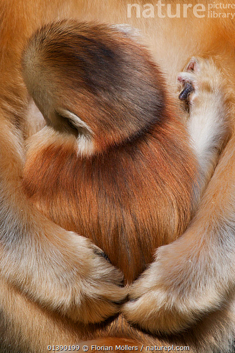 Quinling Golden snub nosed Monkey (Rhinopitecus roxellana qinlingensis), infant suckling Zhouzhi Nature Reserve, Qinling Mountains, Shaanxi, China.  ,  ASIA,AUTUMN,BABIES,CERCOPITHECIDAE,CHINA,CRYPTIC,DRINKING,ENDANGERED,FEEDING,FUR,HEADS,HIGHLANDS,HOLDING,HUGGING,INFANT,JUVENILE,MAMMALS,MONKEYS,MOTHER AND YOUNG,MOUNTAINS,NURSING,PAWS,PRIMATES,REAR,RESERVE,SKIN,SNUB NOSED MONKEYS,SUCKLING,VERTEBRATES,VERTICAL,YOUNG  ,  Florian Möllers