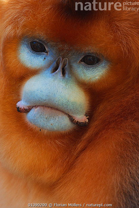 Quinling Golden snub nosed Monkey (Rhinopitecus roxellana qinlingensis), adult male face portrait. Zhouzhi Nature Reserve, Qinling Mountains, Shaanxi, China.  ,  ASIA,AUTUMN,BLUE,CERCOPITHECIDAE,CHINA,ENDANGERED,FACES,HEADS,HIGHLANDS,MALES,MAMMALS,MONKEYS,MOUNTAINS,PORTRAITS,PRIMATES,RESERVE,SNUB NOSED,SNUB NOSED MONKEYS,VERTEBRATES,VERTICAL,Catalogue5  ,  Florian Möllers