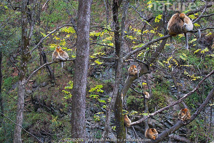 Quinling Golden snub nosed monkey (Rhinopitecus roxellana qinlingensis), family group resting and grooming in a stand of trees. Zhouzhi Nature Reserve, Qinling Mountains, Shaanxi, China.  ,  affection,ASIA,AUTUMN,catalogue5,Cercopithecidae,CHINA,day,ENDANGERED,FAMILIES,FORESTS,full frame,GROOMING,GROUPS,HABITAT,HIGHLANDS,large group of animals,MAMMALS,MONKEYS,MOUNTAINS,Nobody,outdoors,PRIMATES,Qinling Mountains,Relaxing,Republic of China,RESERVE,resting,Shaanxi,snub nosed,SNUB NOSED MONKEYS,social behaviour,TREES,VERTEBRATES,WILDLIFE,Zhouzhi Nature Reserve,PLANTS  ,  Florian Möllers