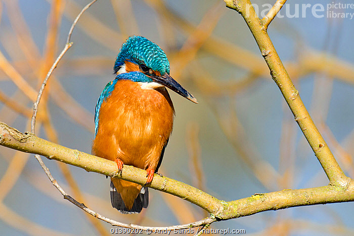 Kingfisher (Alcedo atthis) male perched in tree with mud on beak, Hertfordshire, England, UK, March.  ,  ALCEDINIDAE,BIRDS,BLUE,BRANCHES,COLOURFUL,ENGLAND,EUROPE,KINGFISHERS,MALES,ORANGE,PORTRAITS,TREES,UK,VERTEBRATES,PLANTS,United Kingdom  ,  Andy Sands