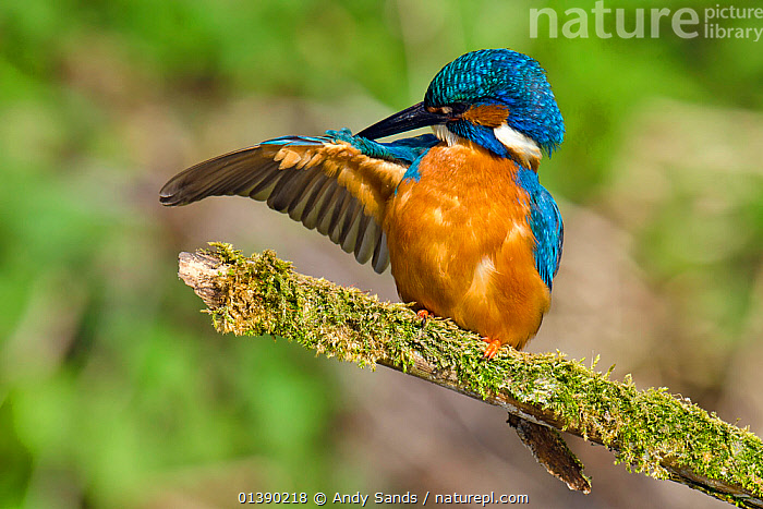 Kingfisher (Alcedo atthis) male preening wing on mossy branch, Hertfordshire, England, UK, March  ,  ALCEDINIDAE,BEHAVIOUR,BIRDS,BLUE,BRANCHES,CLEANING,COLOURFUL,ENGLAND,EUROPE,GROOMING,KINGFISHERS,MALES,MOSS,ORANGE,UK,VERTEBRATES,WINGS,United Kingdom,Catalogue5  ,  Andy Sands
