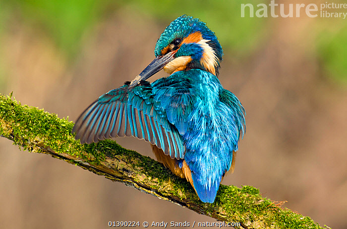 Kingfisher (Alcedo atthis) male preening wing with muddy bill, Hertfordshire, England, UK, March., ALCEDINIDAE,BEHAVIOUR,BIRDS,BLUE,BRANCHES,CLEANING,COLOURFUL,ENGLAND,EUROPE,GROOMING,KINGFISHERS,MALES,MOSS,ORANGE,UK,VERTEBRATES,WINGS,United Kingdom, Andy Sands