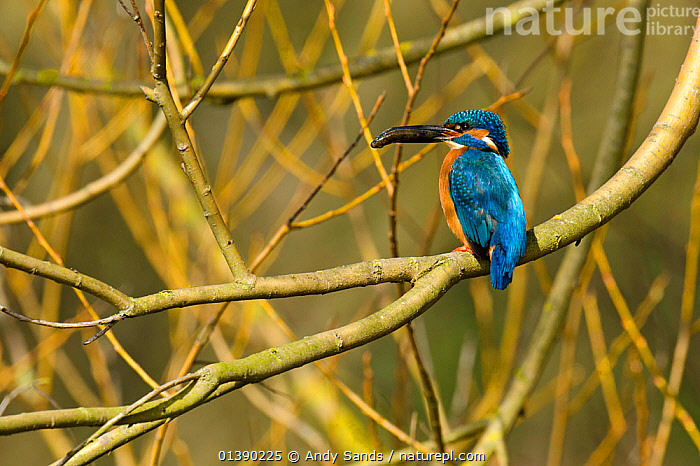 Kingfisher (Alcedo atthis) male perched in tree holding fish, Hertfordshire, England, UK, March., ALCEDINIDAE,BEHAVIOUR,BIRDS,BLUE,BRANCHES,COLOURFUL,COPYSPACE,ENGLAND,EUROPE,FISH,KINGFISHERS,MALES,ORANGE,PROFILE,UK,VERTEBRATES,United Kingdom, Andy Sands