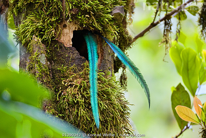 Resplendent Quetzal (Pharomachrus mocinno costaricensis) male tail feathers hanging out of the nest, Costa Rica  ,  BIRDS,CENTRAL AMERICA,CRYPTIC,FEATHERS,MALES,NESTHOLE,NESTING BEHAVIOUR,NESTS,QUETZALS,TAILS,TREES,TROPICAL,TROPICAL RAINFOREST,TROPICS,VERTEBRATES,PLANTS  ,  Konrad Wothe