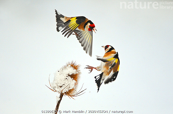 Two Goldfinches (Carduelis carduelis) squabbling over Common teasel (Dipsacus fullonum) seeds in winter, Hope Farm RSPB reserve, Cambridgeshire, England, UK, February. 2020VISION Exhibition. 2020VISION Book Plate. Did you know? The collective noun for Goldfinches is a charm., 2020VISION,2020VISION BOOK PLATE,picday,2020VISION EXHIBITION,ACTION,AGGRESSION,BEHAVIOUR,BIRDS,COLD,COPYSPACE,DICOTYLEDONS,DIPSACACEAE,ENGLAND,EUROPE,FARMLAND,FARMS,FEEDING,FINCHES,FLYING,FRINGILLIDAE,GARDENS,PLANTS,RESERVE,SEEDS,SNOW,SONGBIRDS,SQUABBLE,TWO,UK,URBAN,VERTEBRATES,VOCALISATION,WHITE,WINTER,United Kingdom,2020cc, Mark Hamblin / 2020VISION