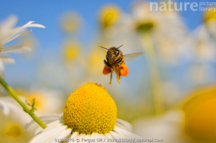 European Honey Bee (Apis mellifera) with pollen sacs flying towards a Scentless mayweed (Tripleurospermum inodorum) flower in order to feed, Perthshire, Scotland, UK, July. 2020VISION Exhibition. Did you know? Researchers may have solved the mystery of �colony collapse disorder�, with strong evidence it is due to certain pesticides., 2020VISION,2020VISION EXHIBITION,APIDAE,ARTHROPODS,ASTERACEAE,BEES,COLOURFUL,COMPOSITAE,DICOTYLEDONS,EUROPE,FLOWERS,FLYING,HYMENOPTERA,INSECTS,INVERTEBRATES,PLANTS,POLLEN,POLLINATION,SCOTLAND,SUMMER,UK,United Kingdom,PIDCAY ,honeybee,honeybees,2020cc, Fergus Gill / 2020VISION