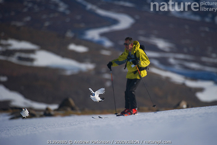 A male (left) and female Ptarmigan (Lagopus mutus) in winter plumage taking flight from an ice field as a skier passes by, Cairngorms National Park, Scotland, UK, March 2011. 2020VISION Exhibition., 2020VISION,2020VISION EXHIBITION,BIRDS,CAIRNGORMS,CAUCASIAN,EUROPE,FLYING,GALLIFORMES,GAME BIRDS,GROUSE,HIGHLANDS,LAGOPUS MUTA,LEISURE,MAN,NP,ONE PERSON,OUTDOOR PURSUITS,OUTDOORS,PEOPLE,PHASIANIDAE,RESERVE,SCOTLAND,SKIING,SNOW,TOURISM,TWO,UK,UPLANDS,VERTEBRATES,National Park,United Kingdom,2020cc, Andrew Parkinson / 2020VISION