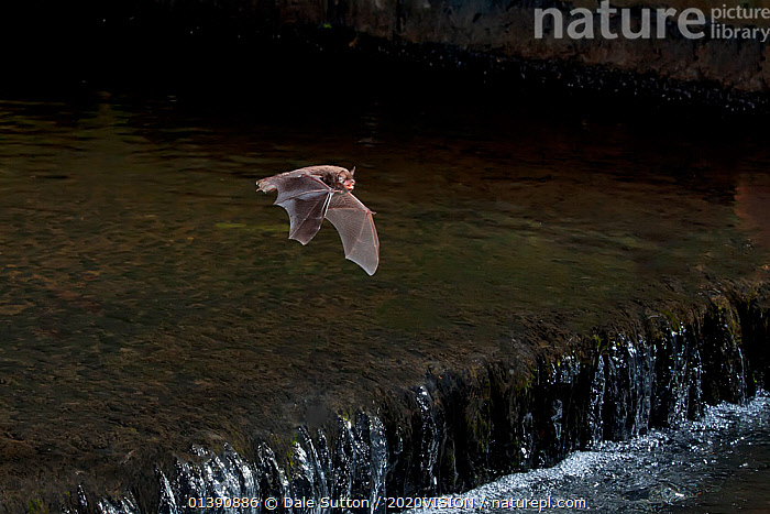 Adult Daubenton's bat (Myotis daubentoni) flying over a weir, England, UK, September. 2020VISION Exhibition. Did you know? This species is know as the 'water bat', and catches insects from the water surface using its webbed tail and feet as a fishing net., 2020VISION,2020VISION EXHIBITION,BATS,CHIROPTERA,EUROPE,FLYING,FORESTS,MAMMALS,NIGHT,RIVERS,UK,VERTEBRATES,VESPERTILIONIDAE,WATER,WEIR,WEIRS,WOODLANDS,United Kingdom,PICDAY,2020cc, Dale Sutton / 2020VISION