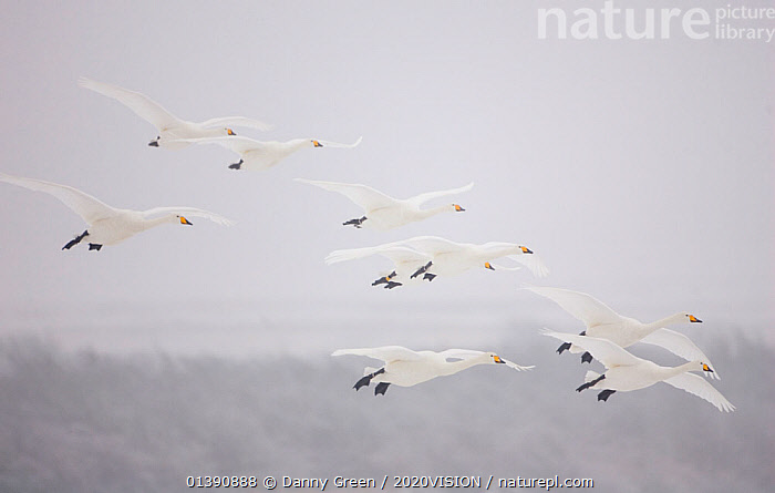 Whooper swans (Cygnus cygnus) in flight, Caerlaverock WWT, Dumfries and Galloway, Scotland, UK. January. 2020VISION Exhibition. 2020VISION Book Plate. Did you know? Fossil records show Whooper swans were in the UK up to 500,000 years ago., 2020VISION,2020VISION EXHIBITION,2020VISION BOOK PLATE,ANATIDAE,ATMOSPHERIC,BIRDS,EUROPE,FLYING,GROUPS,NINE,SCOTLAND,SWANS,UK,VERTEBRATES,WATERFOWL,picday,WHITE,WINTER,United Kingdom,Wildfowl,2020cc, Danny Green / 2020VISION