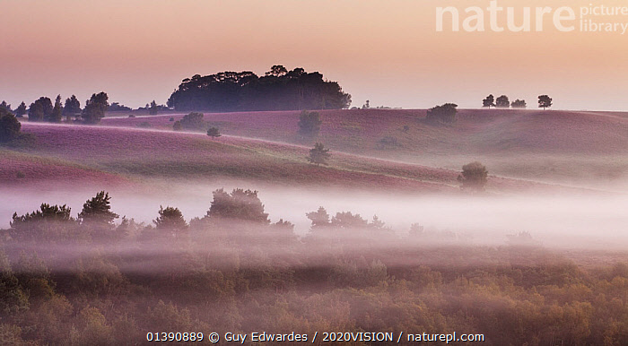 View over New Forest lowland heathland from Rockford Common at dawn, with Bell heather (Erica cinerea) flowering in the background,  Linwood, New Forest National Park, Hampshire, England, UK, August. 2020VISION Exhibition., 2020VISION,2020VISION EXHIBITION,ATMOSPHERIC,CLOUDS,DAWN,DICOTYLEDONS,ENGLAND,ERICACEAE,EUROPE,FLOWERS,HEATH,HEATHER,HEATHLAND,LANDSCAPES,MIST,NP,PLANTS,PURPLE,UK,Weather,National Park,United Kingdom,2020cc, Guy Edwardes / 2020VISION