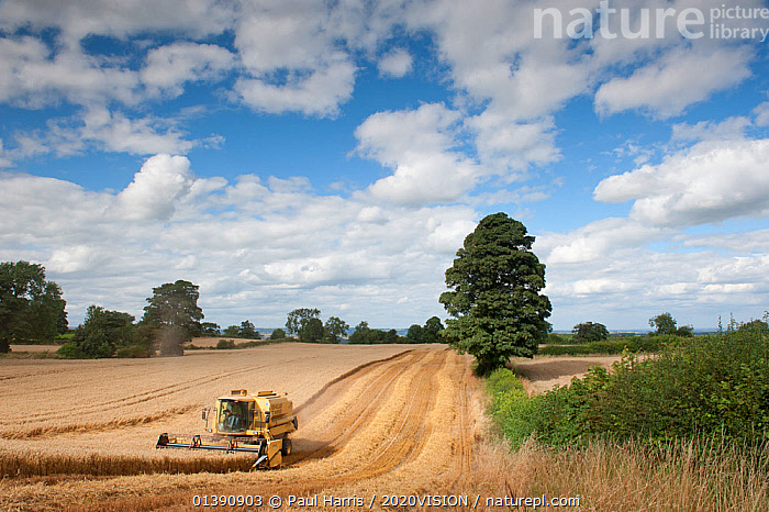 Combine harvester harvesting Oats (Avena sativa), Haregill Lodge Farm, Ellingstring, North Yorkshire, England, UK, August. 2020VISION Exhibition. 2020VISION Book Plate. Did you know? Oats are a hardy temperate crop, successfully grown in the far north of Scotland and even Iceland., 2020VISION,2020VISION EXHIBITION,2020VISION BOOK PLATE,AGRICULTURE,CROPS,EUROPE,FARMING,FARMLAND,FARMS,GRAMINEAE,GRASSES,HARVESTING,LANDSCAPES,MACHINERY,MONOCOTYLEDONS,PLANTS,POACEAE,UK,VEHICLES,United Kingdom,2020cc, Paul Harris / 2020VISION