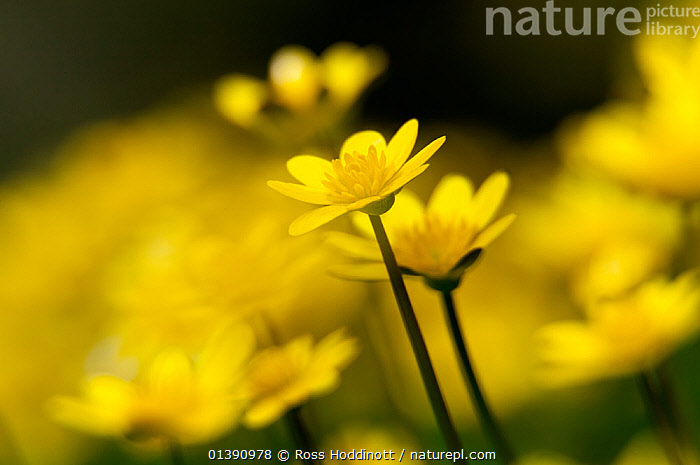 Lesser celandine (Ranunculus ficaria) close up of flowers, Broxwater, North Cornwall, UK, March.  ,  BUTTERCUP,CLOSE UPS,DICOTYLEDONS,ENGLAND,EUROPE,FLOWERS,PLANTS,RANUNCULACEAE,UK,YELLOW,United Kingdom  ,  Ross Hoddinott