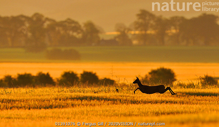 Roe Deer (Capreolus capreolus) doe running in a field of barley, Northumberland, England, summer. Although Roe deer mate in August, the fertilised egg is dormant until January, which prevents the female from giving birth in winter when there is less food., 2020VISION,2020VISION BOOK PLATE,ARTIODACTYLA,CERVIDAE,picday,DAWN,DEER,ENGLAND,EUROPE,FARMLAND,FARMS,FEMALE,LANDSCAPES,MAMMALS,RUNNING,SILHOUETTES,UK,VERTEBRATES,United Kingdom,2020cc, Fergus Gill / 2020VISION