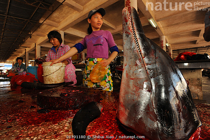 People selling a dolphin meat at a country market, head on display, Hainan Island, China, April 2012., ASIA,CHINA,DELPHINIDAE,FAR EAST,FOOD,HORRIFIC,INDOORS,ISLANDS,MAMMALS,MARINE,MARKETS,PEOPLE,SELLING,TRADE,WOMAN,WOMEN, Shibai Xiao