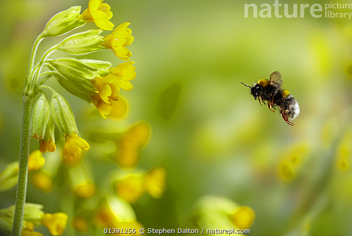 Buff-tailed Bumblebee (Bombus terrestris) worker bee flying to Cowslip (Primula veris) flowers. UK, April.  ,  ARTHROPODS,BEES,BUMBLEBEES,ENGLAND,EUROPE,FLOWERS,FLYING,GARDENS,HYMENOPTERA,INSECTS,INVERTEBRATES,MACRO,PROFILE,SPRING,UK,YELLOW,United Kingdom  ,  Stephen Dalton