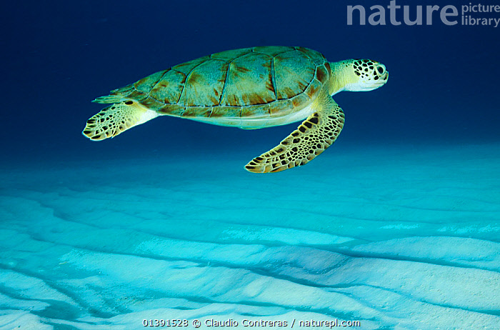 Green Seaturtle (Chelonia mydas) in profile above sandy shallow sea bed. Endangered, Cancun National Park, Caribbean Sea, Mexico.  ,  CARIBBEAN,CENTRAL AMERICA,CHELONIA,ENDANGERED,MARINE,MEXICO,NP,PROFILE,REPTILES,RESERVE,SEABED,SEA TURTLES,TURTLES,UNDERWATER,West Indies,CENTRAL-AMERICA,National Park  ,  Claudio Contreras