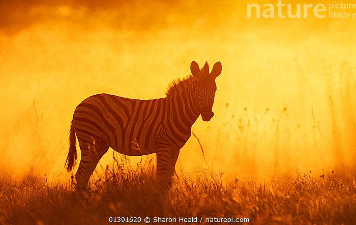 Common zebra (Equus quagga) foal in dusty sunset,  Etosha National Park, Namibia Photo by Sharon Heald, AFRICA,ATMOSPHERIC,BACKLIT,BURCHELL'S ZEBRA,DAWN,DUSK,EQUIDAE,EQUUS BURCHELLI ,EQUUS BURCHELLII,EVENING,JUVENILE,MAMMALS,NATIONAL PARK,NP,OUTLINE,PERISSODACTYLA,PLAINS ZEBRA,PROFILE,RESERVE,SILHOUETTES,SOUTHERN AFRICA,STANDING,SUNRISE,SUNSET,VERTEBRATES,YOUNG,ZEBRAS,Equines,Catalogue5, Sharon Heald