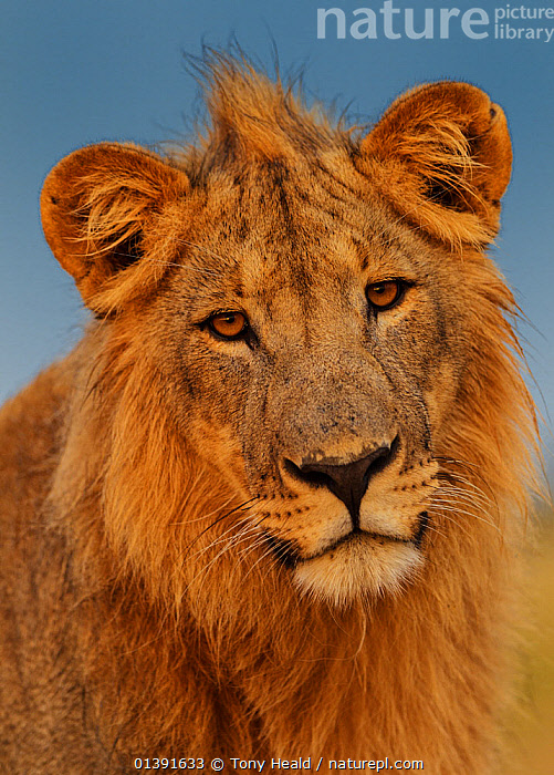 African Lion (Panthera leo) young male at sunrise, Etosha National Park, Namibia  ,  AFRICA,BIG CATS,CARNIVORES,FACES,FELIDAE,HEADS,IMMATURE,JUVENILE,LIONS,MALES,MAMMALS,NATIONAL PARK,NP,PORTRAITS,RESERVE,SOUTHERN AFRICA,VERTEBRATES,VERTICAL,YOUNG,Catalogue5  ,  Tony Heald