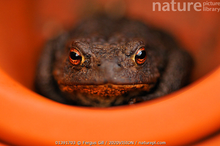 Common Toad (Bufo bufo) resting in a plant pot. Perthshire, Scotland, April. Did you know? When toads eat they blink to help them swallow., 2020VISION,AMPHIBIANS,ANURA,EUROPE,EXPRESSIONS,GARDENS,LOOKING AT CAMERA,PORTRAITS,SCOTLAND,TOADS,picday,UK,URBAN,VERTEBRATES,United Kingdom, Fergus Gill / 2020VISION
