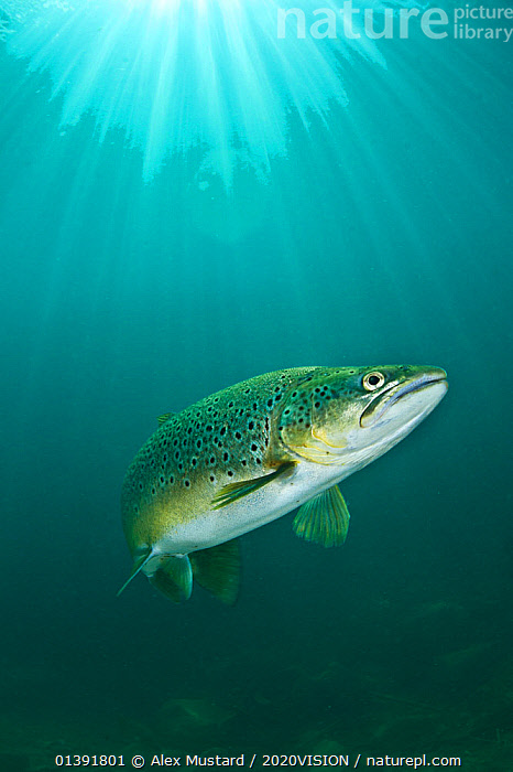 Brown trout (Salmo trutta) swimming through sun beams in a freshwater lake, Capernwray Quarry, Lancashire, UK, July  ,  2020VISION,EUROPE,FISH,FRESHWATER,LIGHT,OSTEICHTHYES,RIVER TROUT,TEMPERATE,TROUT,UK,UNDERWATER,VERTEBRATES,VERTICAL,ENGLAND,United Kingdom  ,  Alex Mustard / 2020VISION