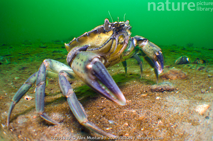 Common shore crab (Carcinus maenas) on sandy bottom of a Scottish sea loch, Loch Long, Argyll and Bute, Scotland, UK, April  ,  2020VISION,ARTHROPODS,ATLANTIC,CRABS,CRUSTACEANS,EUROPE,INVERTEBRATES,MARINE,PORTRAITS,SCOTLAND,TEMPERATE,UK,UNDERWATER,United Kingdom  ,  Alex Mustard / 2020VISION