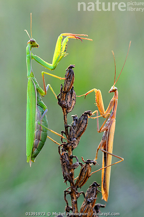 Praying mantis (Mantis religiosa) pair on plant facing each other, Lorraine, France, September.  ,  ARTHROPODS,EUROPE,FRANCE,INSECTS,INVERTEBRATES,MALE FEMALE PAIR,MANTIDS,MANTODEA,PLANTS,VERTICAL,Catalogue5  ,  Michel Poinsignon