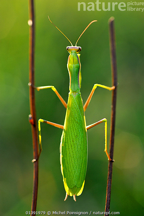 Praying mantis (Mantis religiosa) female, clinging between two twigs, Lorraine, France, October.  ,  ARTHROPODS,EUROPE,FEMALES,FRANCE,INSECTS,INVERTEBRATES,MANTIDS,MANTODEA,VERTICAL,Catalogue5  ,  Michel Poinsignon